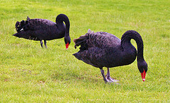 Black Swans, the now famous term coined by Nassim Taleb. It refers to the huge impact of unexpected rare events.
